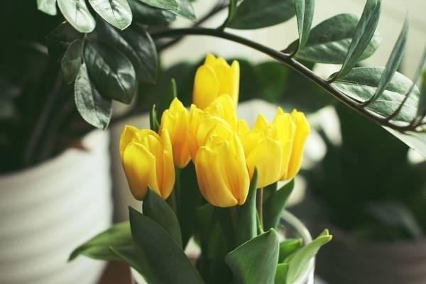 Bilde som viser gule tulipaner omgitt av grønne blader