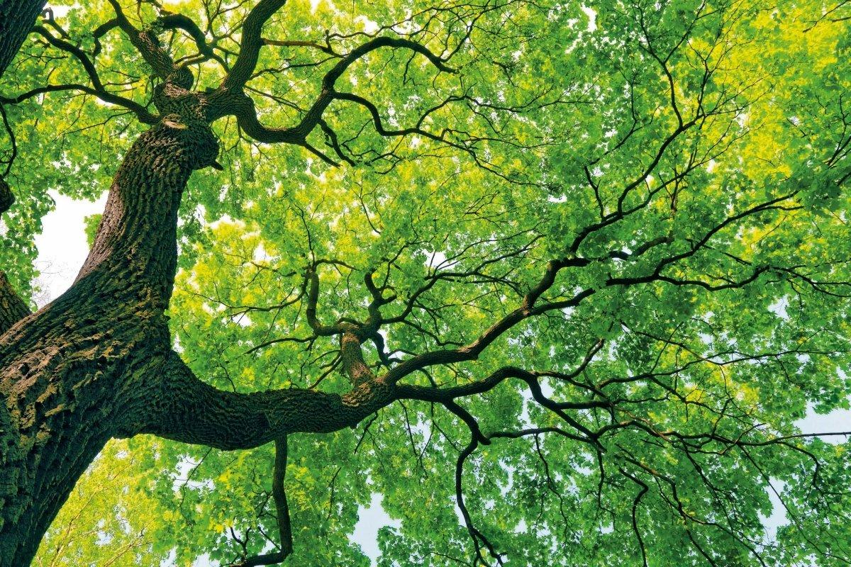Stort løvtre med grønne blader.